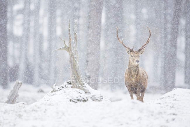Red deer in forest during snow storm — Stock Photo