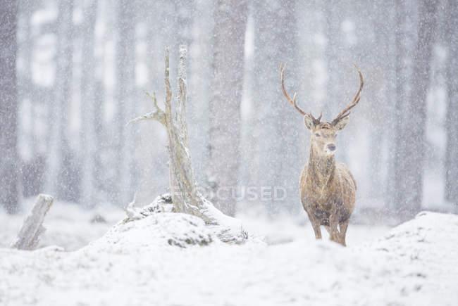 Олени в лесу во время снежной бури — стоковое фото
