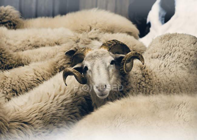 Ram di razza mista con pecore stipati insieme — Foto stock