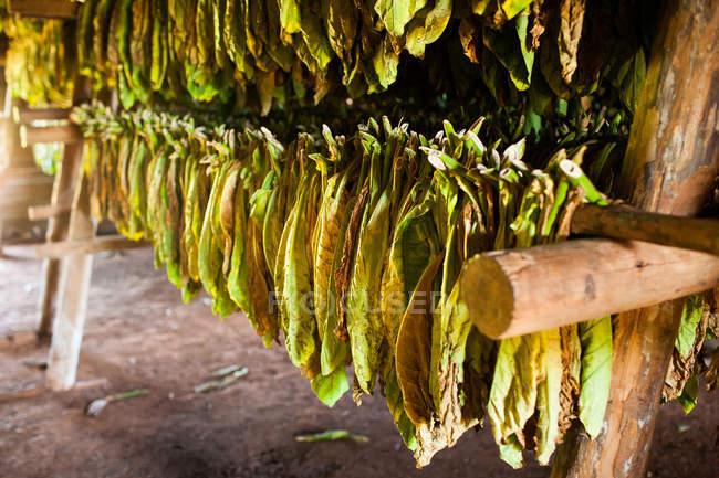 Suspendus pour sécher, gros coup de feuilles de tabac — Photo de stock