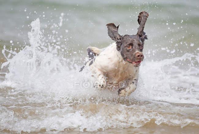 English Springer Spaniel dog running through surf water — Stock Photo