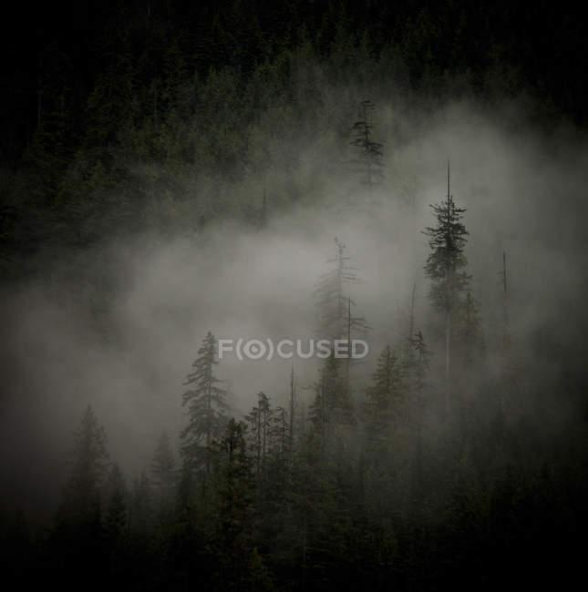 Покрыты соснами лес в тумане — стоковое фото