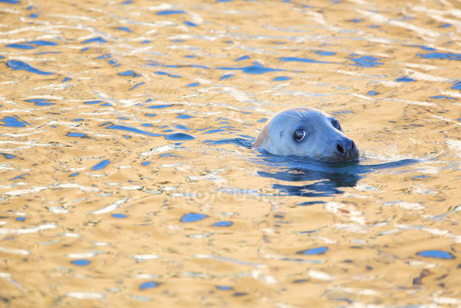 Grey seal in golden sun lighted water — Stock Photo