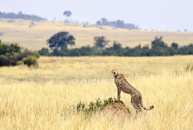 Wild cheetah standing on anthill in savannah — Stock Photo