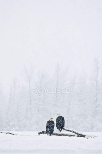 Пара Лысые орлы усаживаться на ствол дерева во время снежной бури — стоковое фото