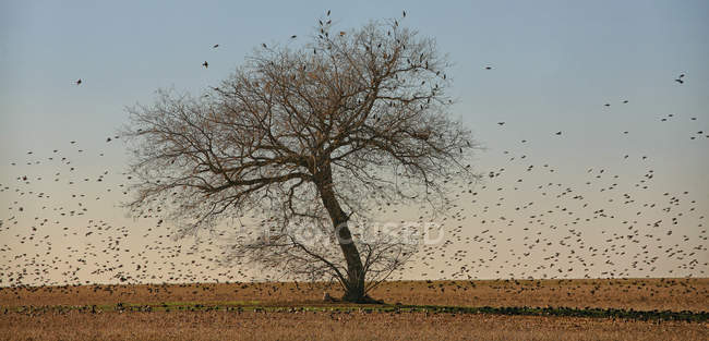 Tree and flock of birds in dry landscape — Stock Photo