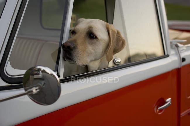 Cão labrador, olhando pela janela do carro — Fotografia de Stock