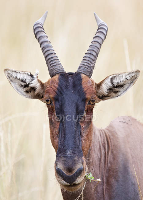 Close up shot if wild Topi head — Stock Photo