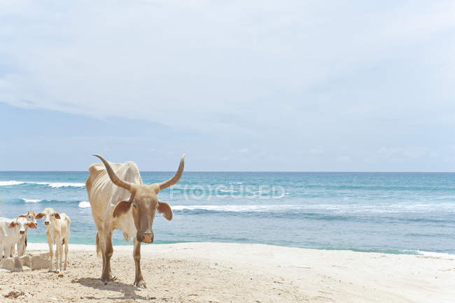 Bull with large horns and several baby cows walking on sandy beach — Stock Photo