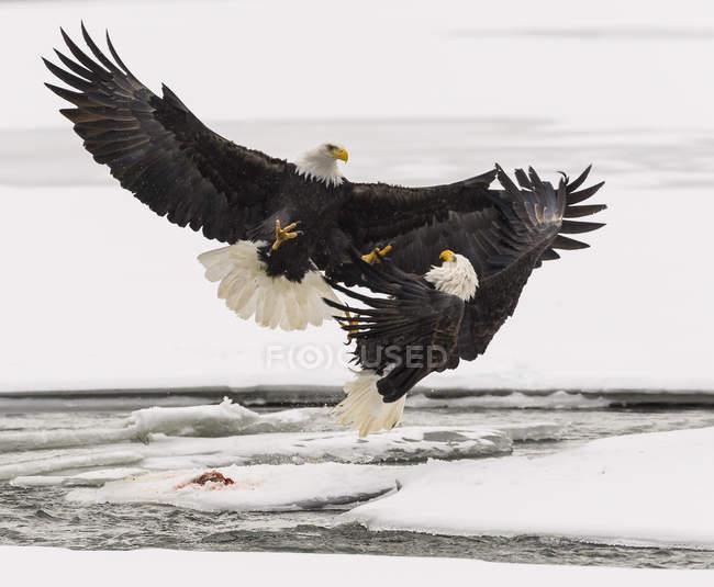 Aquile calve combattono sopra salmone in volo — Foto stock