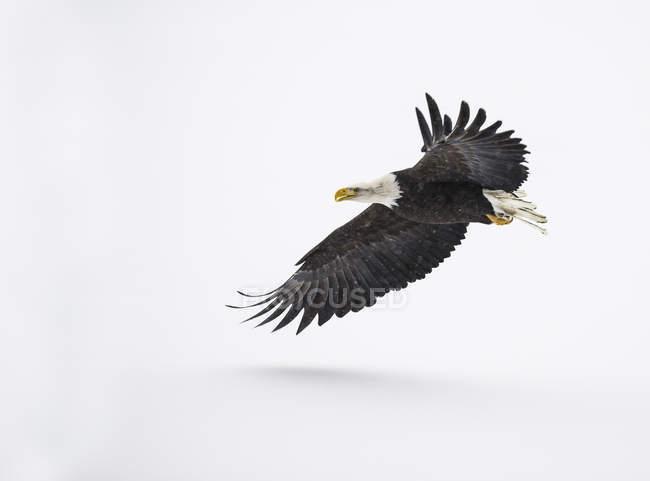 Aquila calva durante il volo sopra neve — Foto stock
