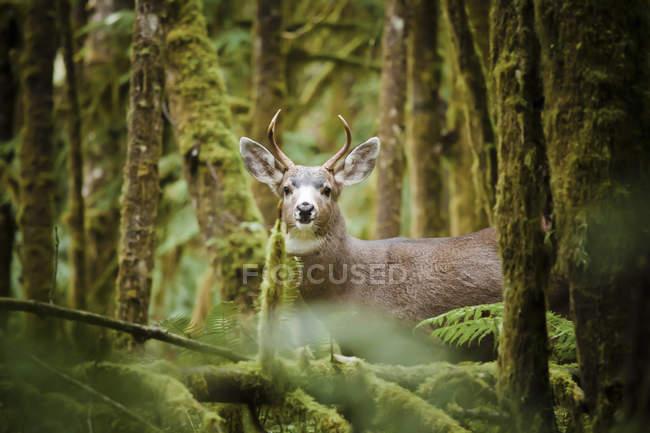 Цікаво чоловіки чорний білохвоста оленя в пишних Мосс покриті лісом — стокове фото