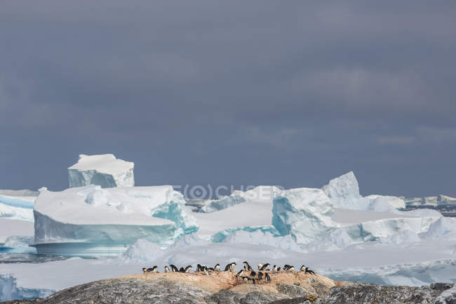 Penguin colony on hill with glaciers on background — Stock Photo