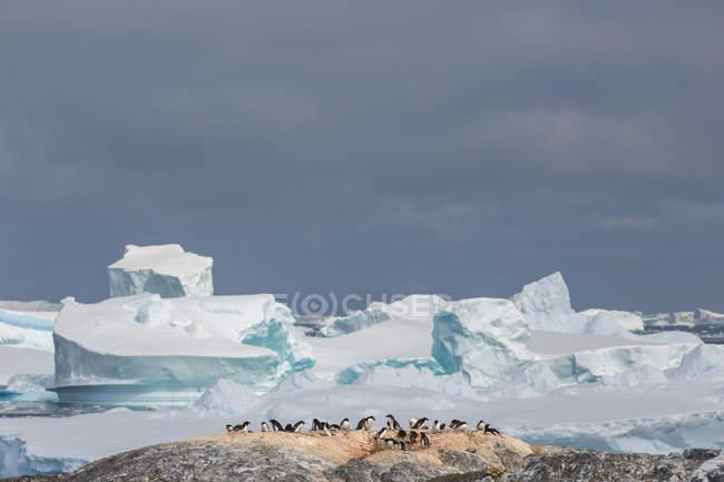 Колонії пінгвінів на пагорбі з льодовиків на тлі — стокове фото