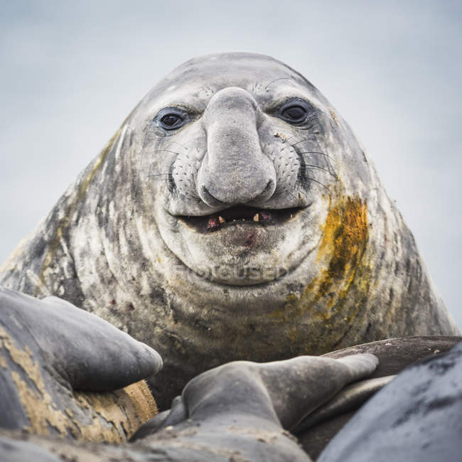 Close up shot of Elephant seal head — Stock Photo