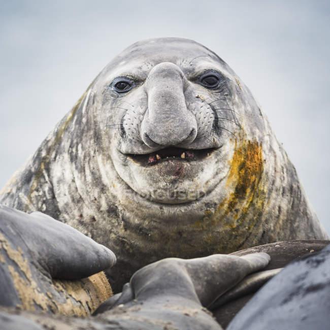 Крупним планом постріл головою морський слон — стокове фото