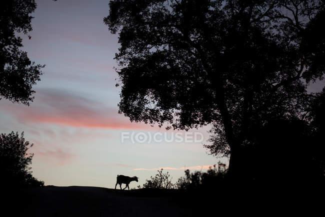 Silueta de la cabra en el cielo del atardecer con nubes de colores - foto de stock