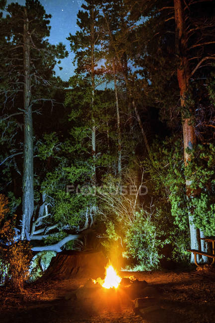 Campfire lighting tall trees at night — Stock Photo