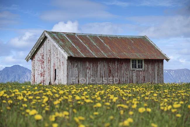 Old barn on blooming yellow flowers field — Stock Photo