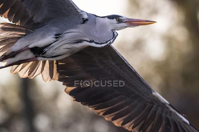Chiuda in su colpo di volo di uccello dell'Airone — Foto stock
