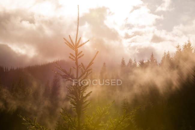 Ели в лесу с пасмурным небом в Солнечный день — стоковое фото