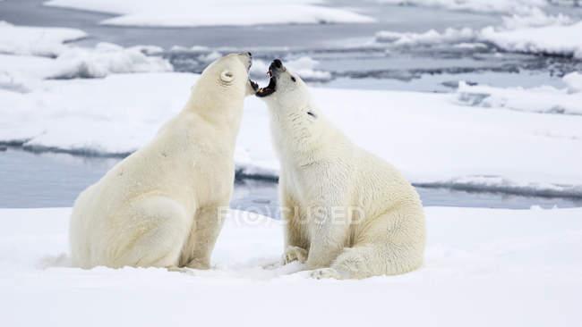 Dois ursos polares sentado em frente ao outro sobre o gelo e rosnando — Fotografia de Stock