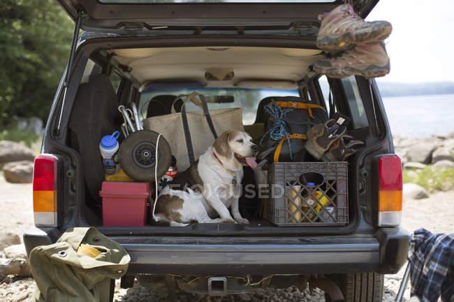 Розслаблююча на задній частині автомобіля під час A Road Trip собака — стокове фото