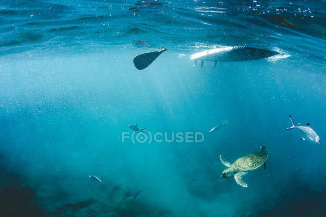 Underwater view paddle and boat with swimming fish and turtles — Stock Photo
