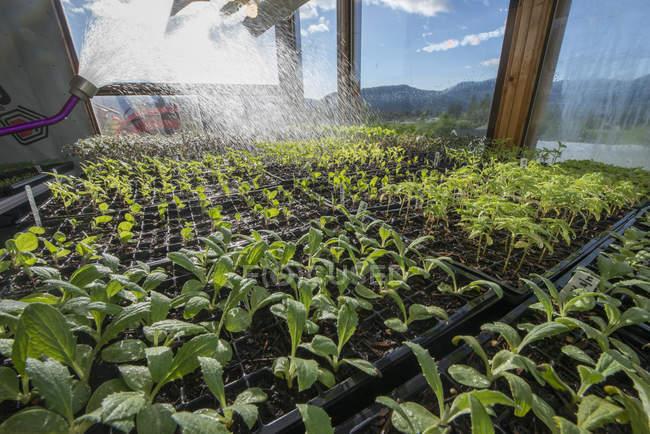 Полив пишні зелені саджанців на парникових при яскравому сонячному світлі — стокове фото