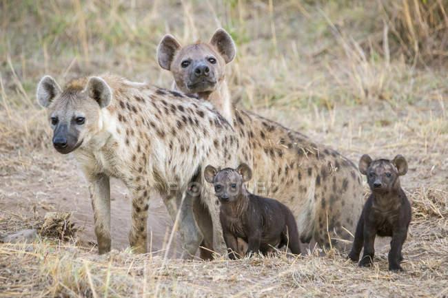 Hyänen und ihre jungen ruht auf trockenen Bereich — Stockfoto