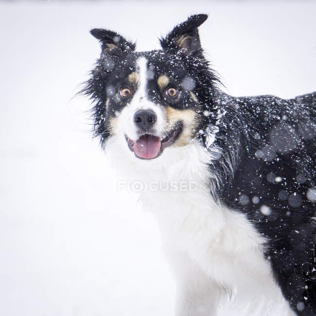 Пограничный колли собака, глядя на камеру через снежинки — стоковое фото