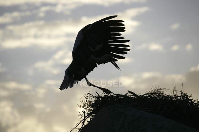 Atterraggio della cicogna sul nido con il cielo nuvoloso su priorità bassa bianca — Foto stock