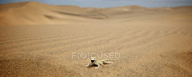 Shovel snouted lizard on sand at dunes of Swakopmund, Namibia — Stock Photo