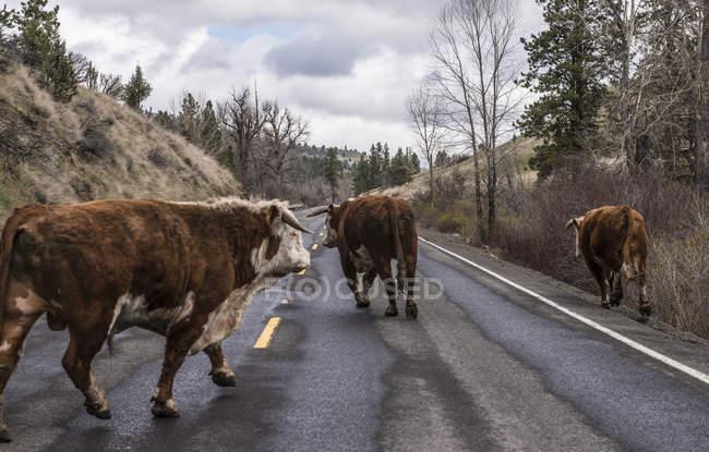 Vaches à marcher sur la route à jour nuageux — Photo de stock