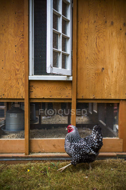 Chicken against coop at backyard, selective focus — Stock Photo