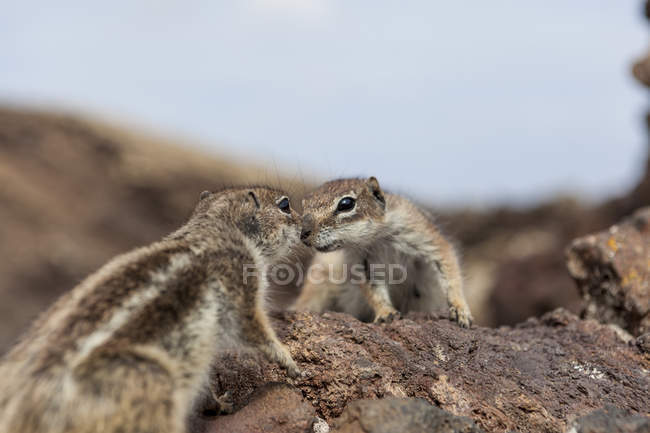 Two chipmunks touching each other's nose — Stock Photo