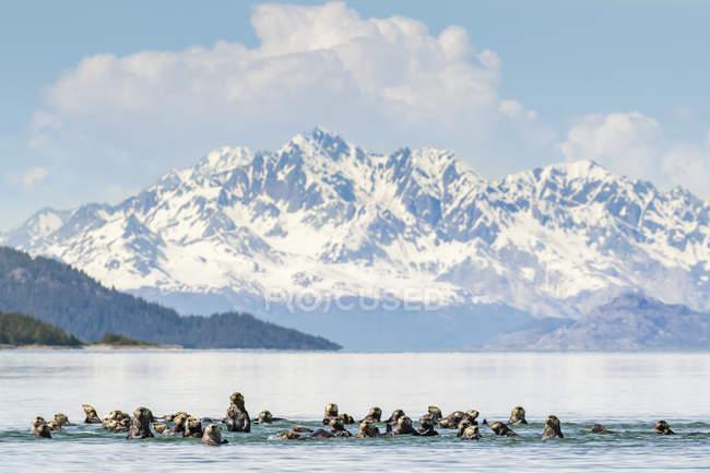 Морські видри стікатися у воду з snowcapped гір на тлі — стокове фото