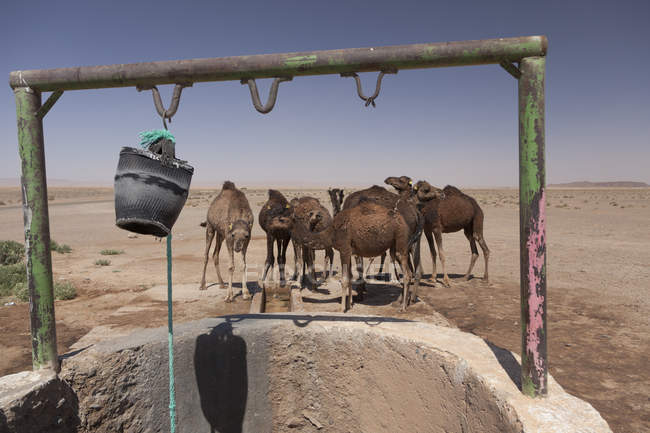 Group of camels drinking near well in desert of Sahara, Morocco — Stock Photo