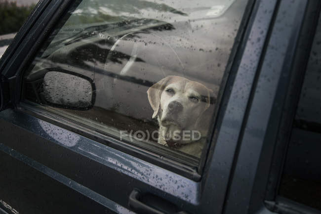 Собака сидит внутри автомобиля и глядя на камеру через окно — стоковое фото