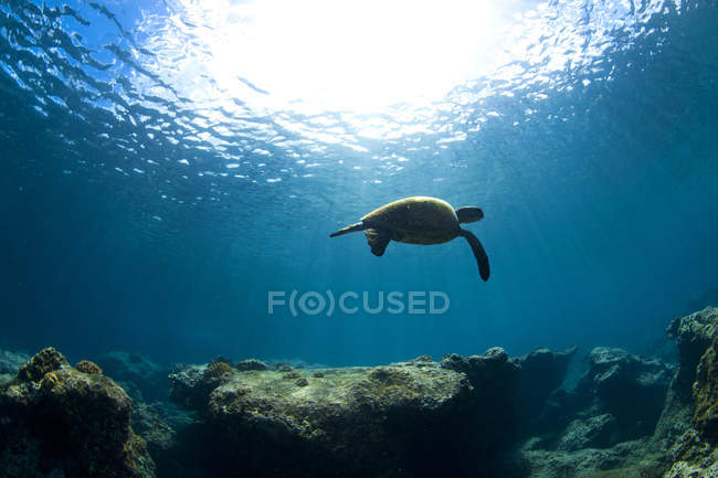 Underwater View Of A Hawaiian Sea Turtle — Stock Photo