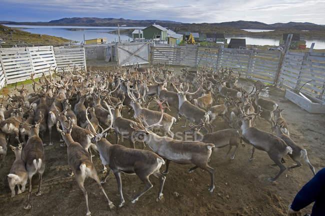 Reindeer roundup at Isortoq, Greenland, selective focus — Stock Photo