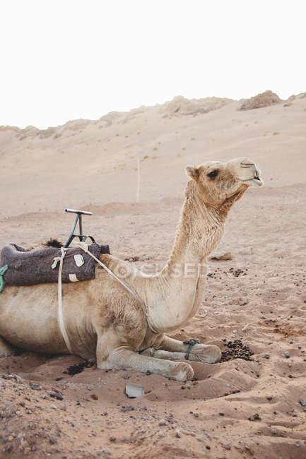 Kamel liegend auf Sand in der Wüste, Seitenansicht — Stockfoto