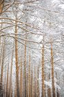 Trees in the forest with snow — Stock Photo