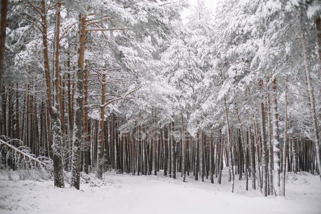 Деревья в лесу снег — стоковое фото