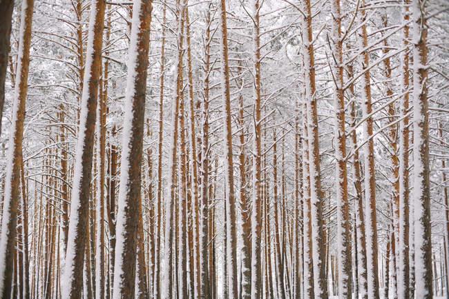 Деревья в лесу со снегом — стоковое фото