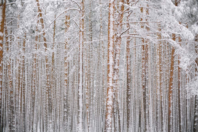 Alberi nella foresta con neve — Foto stock