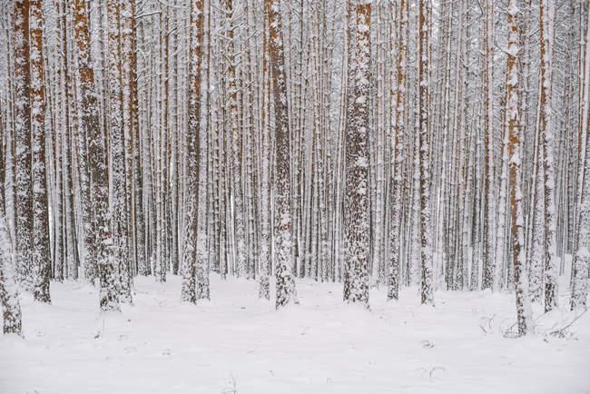 Árvores na floresta com neve — Fotografia de Stock