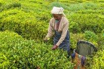 Tamil woman working on tea plantation with traditional plucking method at Haputale, Sri Lanka — Stock Photo
