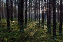 Daytime view of Tuchola pinewoods, Poland, Europe — Stock Photo