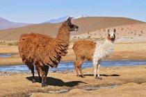 Женщины ламы с мужской cria в Боливии — стоковое фото